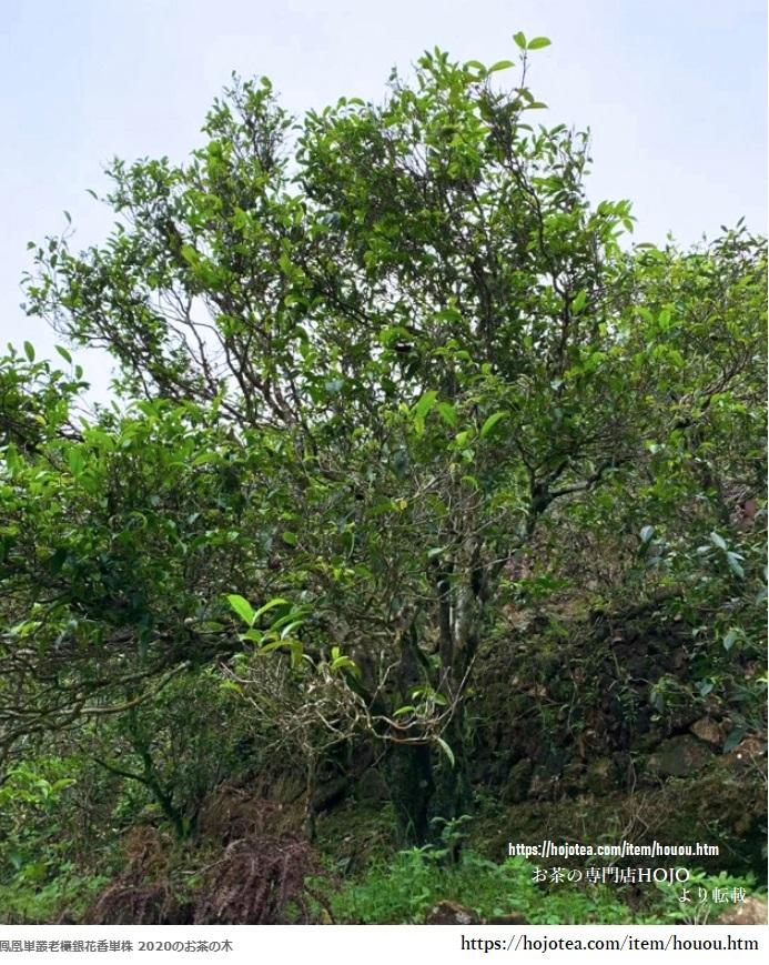 鳳凰単叢銀花香単株の茶樹の画像 お茶の専門店HOJO代表より利用を許可して頂きました。